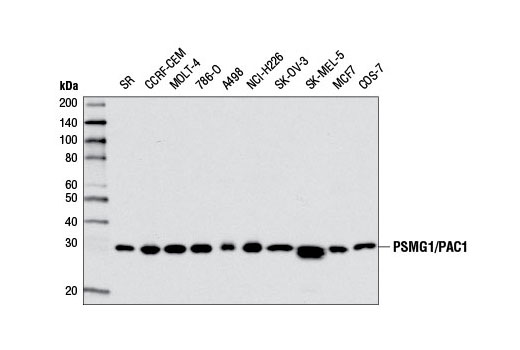 Western blot analysis of extracts from various cell lines using PSMG1/PAC1 Antibody.