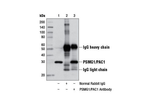 Immunoprecipitation of PSMG1 from 293T cell extracts using Normal Rabbit IgG #2729 (lane 2) or PSMG1/PAC1 Antibody (lane 3). Lane 1 is 10% input. Western blot analysis was performed using PSMG1/PAC1 Antibody.