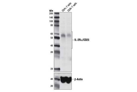 Western blot analysis of extracts from purified human CD4+ and CD8+ T cells using IL-2Rα/CD25 (D6K5F) Rabbit mAb (upper) and β-Actin (D6A8) Rabbit mAb #8457 (lower).