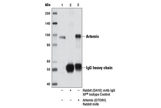Image 7: Non-Homologous End Joining (NHEJ) DNA Repair Antibody Sampler Kit