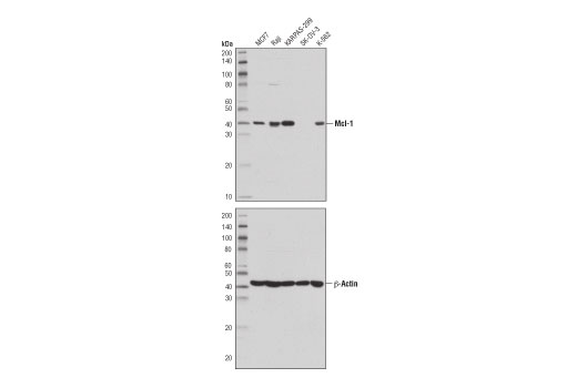 Western blot analysis of extracts from various cell lines, using Mcl-1 (D5V5L) Rabbit mAb (upper) or β-Actin (D6A8) Rabbit mAb #8457 (lower).