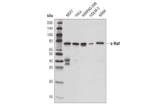 Monoclonal Antibody - c-Raf (D4B3J) Rabbit mAb - Immunoprecipitation, Western Blotting, UniProt ID P04049, Entrez ID 5894 #53745, Antibodies to Kinases