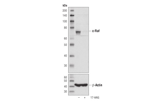 Western blot analysis of extracts from HT-29 cells, untreated (-) or treated with 17-AAG #8132 (1 μM, 24 hrs; +) using c-Raf (D4B3J) Rabbit mAb (upper) or β-Actin (D6A8) Rabbit mAb #8457 (lower).