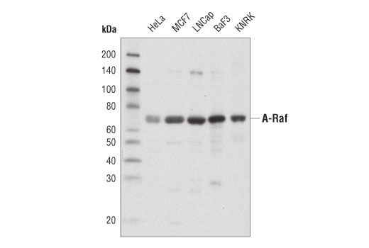 Western blot analysis of extracts from various cell lines using A-Raf (D2P9P) Rabbit mAb.