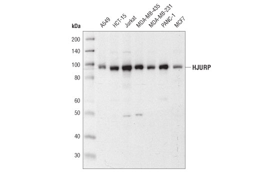 Western blot analysis of extracts from various cell lines using HJURP (D3A8Z) Rabbit mAb.
