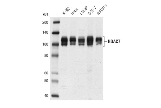 Western blot analysis of extracts from various cell lines using HDAC7 (D4E1L) Rabbit mAb.