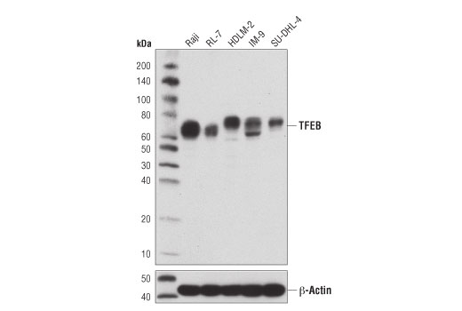 Monoclonal Antibody Immunohistochemistry Paraffin Regulation of Autophagy