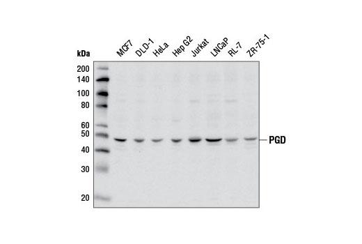 Polyclonal Antibody - PGD Antibody - Western Blotting, UniProt ID P52209, Entrez ID 5226 #13389 - Primary Antibody Conjugates