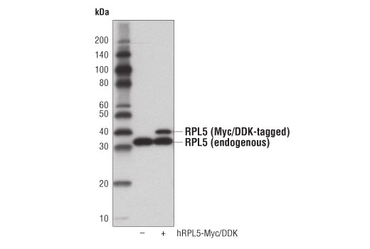 Western blot analysis of extracts from 293T cells, mock transfected (-) or transfected with a construct expressing Myc/DDK-tagged full-length human RPL5 protein (hRPL5-Myc/DDK; +), using RPL5 (D5Q5X) Rabbit mAb.