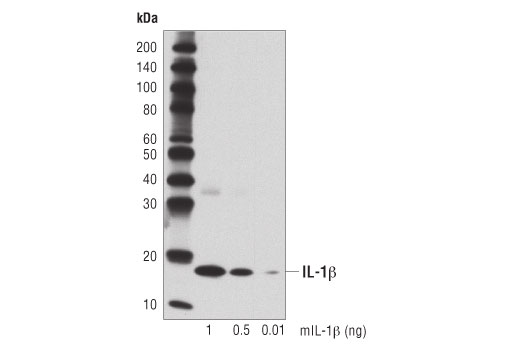 Western blot analysis of recombinant mouse IL-1β (mIL-1β) using IL-1β (D6D6T) Rabbit mAb (Mouse Specific).