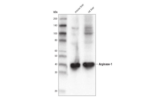 Western blot analysis of extracts from mouse and rat liver using Arginase-1 (D4E3M™) XP<sup>®</sup> Rabbit mAb.