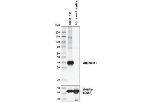 Western blot analysis of extracts from mouse liver and mouse small intestine using Arginase-1 (D4E3M™) XP® Rabbit mAb (upper) or β-Actin (D6A8) Rabbit mAb #8457 (lower).