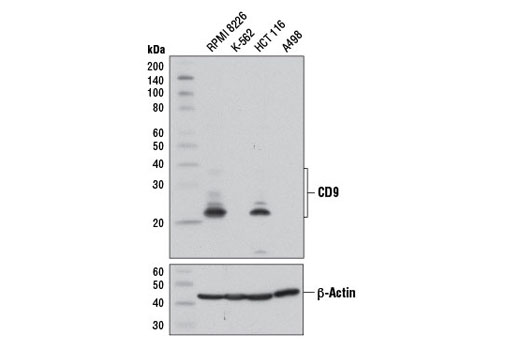 Western Blotting Image 1: CD9 (D3H4P) Rabbit mAb
