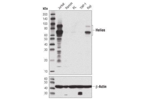 Western blot analysis of extracts from various cell lines using Helios (D4Z6D) Rabbit mAb (upper) or β-Actin (D6A8) Rabbit mAb #8457 (lower).