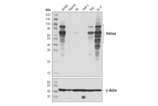 Western blot analysis of extracts from various cell lines using Helios (D8W4X) XP<sup>®</sup> Rabbit mAb (upper) or β-Actin (D6A8) Rabbit mAb #8457 (lower).