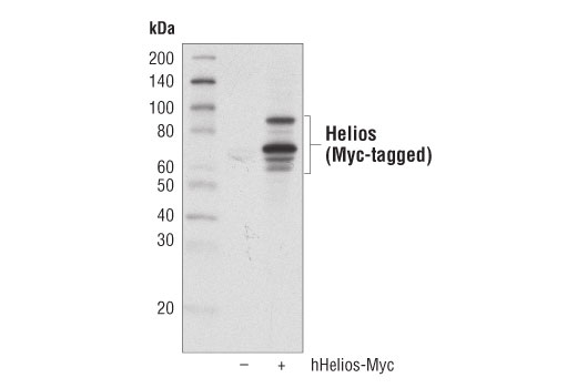 Western blot analysis of extracts from 293T cells, untransfected (-) or transfected with a construct expressing Myc-tagged full-length human Helios (hHelios-Myc; +), using Helios (D8W4X) XP<sup>®</sup> Rabbit mAb.