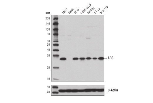 Western blot analysis of extracts from various cell lines using ARC (D7Q3G) Rabbit mAb (upper) or β-Actin (D6A8) Rabbit mAb #8457 (lower).