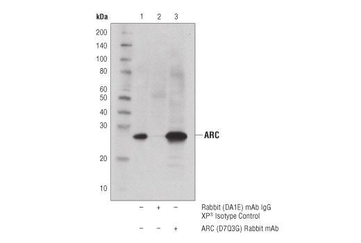 Immunoprecipitation of ARC from MCF7 cell extracts. Lane 1 is 10% input, lane 2 is Rabbit (DA1E) mAb IgG XP® Isotype Control #3900 and lane 3 is ARC (D7Q3G) Rabbit mAb. Western blot was performed using ARC (D7Q3G) Rabbit mAb. A conformation-specific secondary antibody was used to avoid cross reactivity with IgG.