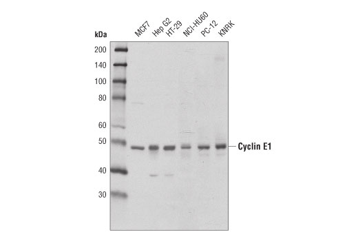 Western blot analysis of extracts from various cell lines using Cyclin E1 (D7T3U) Rabbit mAb.