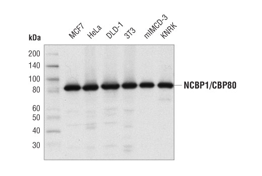 Western blot analysis of extracts from various cell lines using NCBP1/CBP80 (D7Z2Z) Rabbit mAb.