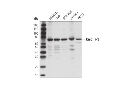 Monoclonal Antibody Western Blotting Integrin Binding - count 20