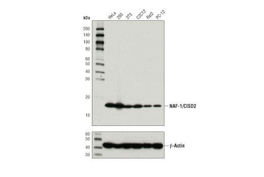 Western blot analysis of extracts from various cell lines using NAF-1/CISD2 (D4X4E) Rabbit mAb (upper) or β-Actin (D6A8) Rabbit mAb #8457 (lower).