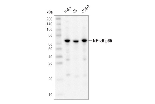 Western blot analysis of extracts from various cell lines using NF-κB p65 (D14E12) XP<sup>®</sup> Rabbit mAb (HRP Conjugate).