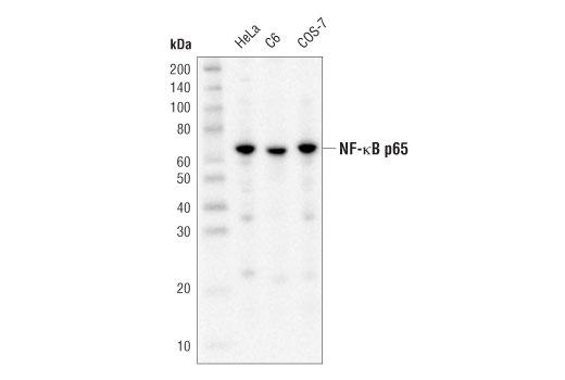Monoclonal Antibody - NF-κB p65 (D14E12) XP® Rabbit mAb (HRP Conjugate), UniProt ID Q04206, Entrez ID 5970 #59674 - #59674