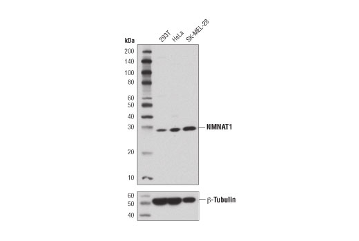 Western blot analysis of extracts from 293T, HeLa, and SK-MEL-28 using NMNAT1 (D7O4N) Rabbit mAb (upper) or β-Tubulin (9F3) Rabbit mAb #2128 (lower).