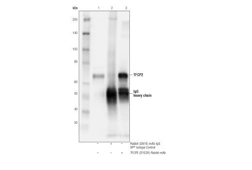 Immunoprecipitation of TFCP2 from THP-1 cell extracts. Lane 1 is 10% input, lane 2 is Rabbit (DA1E) mAb IgG XP<sup>®</sup> Isotype Control #3900, and lane 3 is TFCP2 (D1S3V) Rabbit mAb. Western blot analysis was performed using TFCP2 (D1S3V) Rabbit mAb.