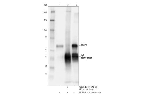 Monoclonal Antibody - TFCP2 (D1S3V) Rabbit mAb - Immunoprecipitation, Western Blotting, UniProt ID Q12800, Entrez ID 7024 #80784, Adhesion