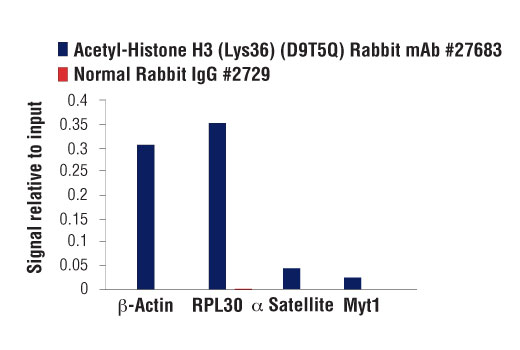 Chromatin immunoprecipitations were performed with cross-linked chromatin from K-562 cells and either Acetyl-Histone H3 (Lys36) (D9T5Q) Rabbit mAb or Normal Rabbit IgG #2729 using SimpleChIP<sup>®</sup> Enzymatic Chromatin IP Kit (Magnetic Beads) #9003. The enriched DNA was quantified by real-time PCR using SimpleChIP<sup>®</sup> Human β-Actin Promoter Primers #13653, SimpleChIP<sup>® </sup>Human RPL30 Exon 3 Primers #7014, SimpleChIP<sup>®</sup> Human α Satellite Repeat Primers #4486, and SimpleChIP<sup>® </sup>Human MYT-1 Exon 1 Primers #4493. The amount of immunoprecipitated DNA in each sample is represented as signal relative to the total amount of input chromatin, which is equivalent to one.