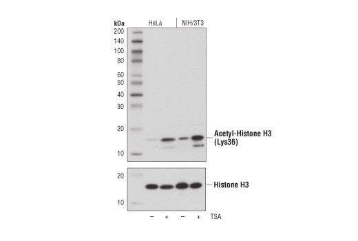 Western blot analysis of extracts from HeLa and NIH/3T3 cells, untreated (-) or treated with Trichostatin A (TSA) #9950 (1 μM, 18 hr; +), using Acetyl-Histone H3 (Lys36) (D9T5Q) Rabbit mAb (upper) or Histone H3 (D1H2) XP® Rabbit mAb #4499 (lower).