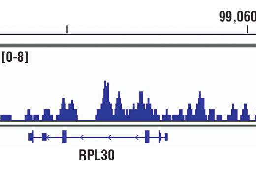 Chromatin immunoprecipitations were performed with cross-linked chromatin from K-562 cells and Acetyl-Histone H3 (Lys36) (D9T5Q) Rabbit mAb, using SimpleChIP<sup>®</sup> Plus Enzymatic Chromatin IP Kit (Magnetic Beads) #9005. DNA Libraries were prepared using SimpleChIP<sup>®</sup> ChIP-seq DNA Library Prep Kit for Illumina<sup>®</sup> #56795. The figure shows binding across RPL30, a known target gene of H3K36Ac (see additional figure containing ChIP-qPCR data). For additional ChIP-seq tracks, please download the product data sheet.