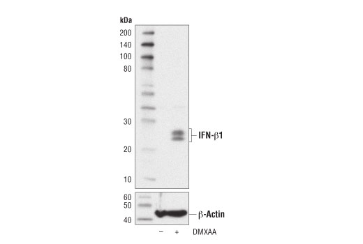 Western blot analysis of extracts from Raw 264.7 cells, untreated (-) or treated with DMXAA (50 μg/ml, 7 hr; +), using IFN-β1 (D2J1D) Rabbit mAb (Mouse Specific) (upper) or β-Actin (D6A8) Rabbit mAb #8457 (lower). Brefeldin A #9972 (300 ng/ml) was added to untreated and treated cells 1 hr after the start of DMXAA treatment.