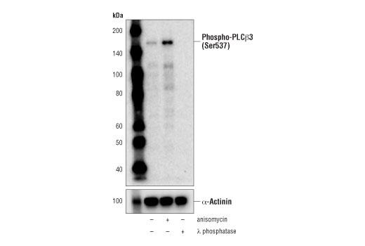 Monoclonal Antibody Western Blotting Phosphoinositide Phospholipase c Activity