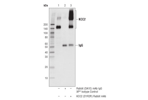 Immunoprecipitation of KCC2 from mouse brain extracts. Lane 1 is 10% input, lane 2 is Rabbit (DA1E) mAb IgG XP<sup>®</sup> Isotype Control #3900, and lane 3 is KCC2 (D1R2R) Rabbit mAb. Western blot analysis was performed using KCC2 (D1R2R) Rabbit mAb.