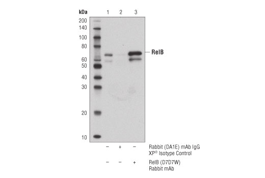 Immunoprecipitation of RelB from Raji cell extracts. Lane 1 represents 10% input, lane 2 is precipitated with Rabbit (DA1E) mAb IgG XP® Isotype Control #3900 and lane 3 is RelB (D7D7W) Rabbit mAb. Western blot was performed using RelB (D7D7W) Rabbit mAb. A conformation specific secondary antibody was used to avoid cross reativity with IgG.