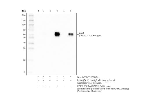Monoclonal Antibody - DYKDDDDK Tag (D6W5B) Rabbit mAb (Binds to same epitope as Sigma's Anti-FLAG® M2 Antibody) (Sepharose® Bead Conjugate) - 400 µl #70569 - Primary Antibody Conjugates