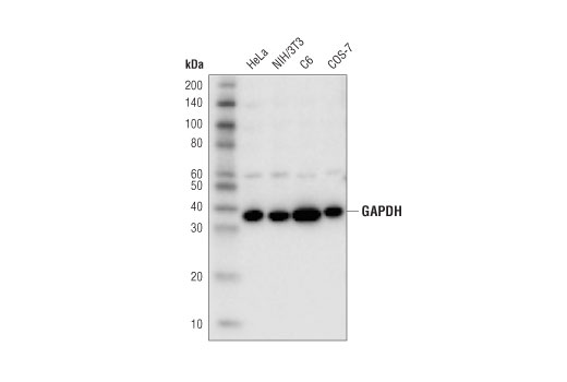 Western blot analysis of extracts from various cell lines using GAPDH (D4C6R) Mouse mAb.