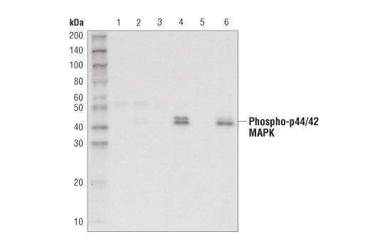 Immunoprecipitation of extracts from HeLa cells, treated with either U0126 #9903 (10uM, 1 hour, lanes 1, 3, and 5) or TPA #4147 (200uM 20 minutes, lanes 2, 4, and 6) using #3423 Rabbit (DA1E) mAb IgG XP<sup>®</sup> Isotype Control (Sepharose<sup>®</sup> Bead Conjugate) (lanes 1 and 2) or Phospho-p44/42 MAPK (Erk1/2) (Thr202/Tyr204) (D6A9) Rabbit mAb (Sepharose<sup>®</sup> Bead Conjugate) (lanes 3 and 4). Lanes 5 and 6 are 10% input. Western blot analysis performed using #8544 Phospho-p44/42 MAPK (Erk1/2) (Thr202/Tyr204) (D13.14.4E) XP<sup>®</sup> Rabbit mAb (HRP Conjugate).