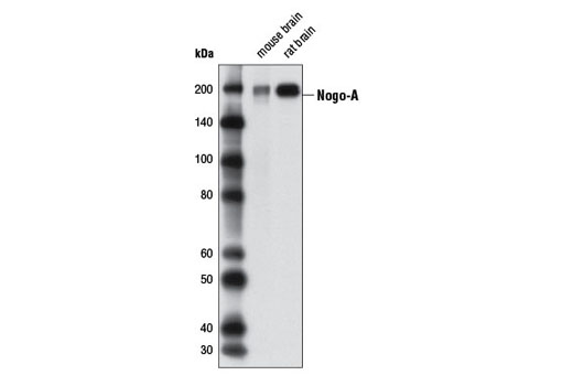 Western blot analysis of extracts from mouse and rat brain tissues using Nogo-A Antibody.