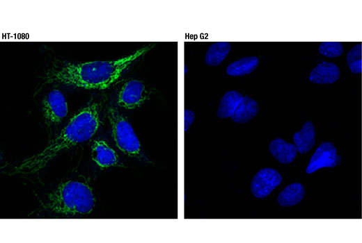 Confocal immunofluorescent analysis of HT-1080 (left) and Hep G2 (right) cells using TSPO (D1N7Z) Rabbit mAb (green). Blue pseudocolor = DRAQ5<sup>®</sup> #4084 (fluorescent DNA dye).