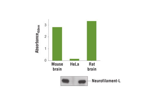 Figure 1. Detection of Neurofilament-L protein in mouse brain, HeLa cells, and rat brain is examined by using the PathScan<sup>®</sup> Total Neurofilament Sandwich ELISA Kit. The absorbance readings at 450 nm are shown in the top figure, while the corresponding western blot using Neurofilament-L (C28E10) Rabbit mAb #2837 is shown in the bottom figure.
