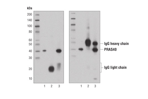Western Blotting Image 1: Mouse Anti-rabbit IgG (Light-Chain Specific) (D4W3E) mAb