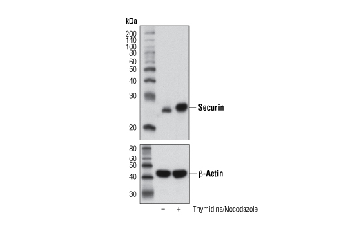 Monoclonal Antibody - Securin (D2B6O) Rabbit mAb - Immunoprecipitation, Western Blotting, UniProt ID O95997, Entrez ID 9232 #13445
