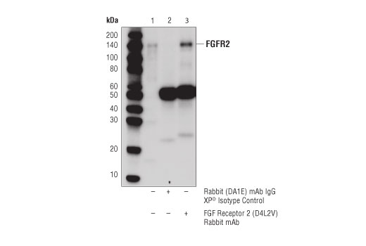 Immunoprecipitation of FGFR2 protein from Saos-2 cell extracts. Lane 1 is 10% input, lane 2 is Rabbit (DA1E) mAb IgG XP<sup>®</sup> Isotype Control #3900, and lane 3 is FGF Receptor 2 (D4L2V) Rabbit mAb. Western blot analysis was performed using FGF Receptor 2 (D4L2V) Rabbit mAb.