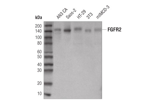Western blot analysis of extracts from various cell lines using FGF Receptor 2 (D4L2V) Rabbit mAb.