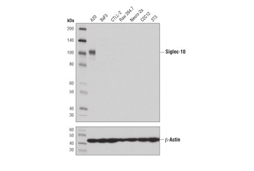 Monoclonal Antibody - Siglec-10 (D4E3Z) Rabbit mAb (Mouse Specific), UniProt ID Q80ZE3, Entrez ID 243958 #41262