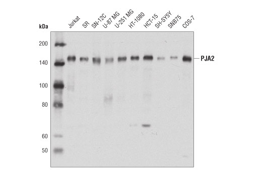 Polyclonal Antibody - PJA2 Antibody - Immunoprecipitation, Western Blotting, UniProt ID O43164, Entrez ID 9867 #40180 - Ubiquitin and Ubiquitin-Like Proteins